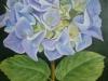 a4-blue-hydrangea005_r
