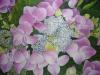 hydrangea-lace-cap-2012_r