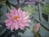 pink-waterlily-002_r