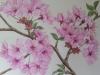 cherry-blossom-prunus-shosar-003-2_r
