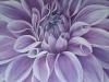 purple-dahlia_r